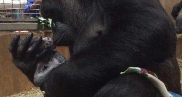 El precioso momento en el que una gorila abraza y besa a su cría recién nacida