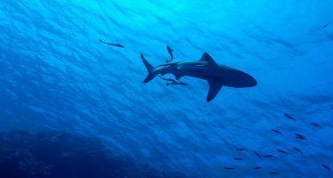 Las agrupaciones de tiburones peregrinos en el Atlántico desconciertan a los científicos