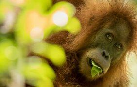 El orangután Tapanuli recién descubierto y ya se encuentra en peligro de extinción