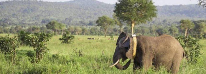 Colocan collares GPS para proteger a los elefantes amenazados de Tanzania