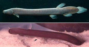 Descubren una nueva familia de peces amazónicos: es la primera en 40 años