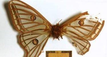 La controvertida historia de la mariposa más bella de Europa