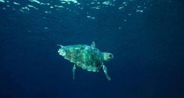 Los machos de tortuga boba también vuelven a las playas donde nacieron para reproducirse