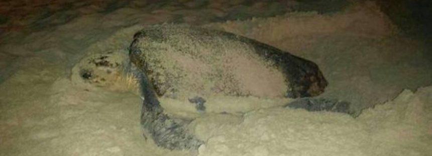Piden proteger a las tortugas considerando el campo magnético de las playas