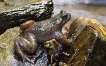 Uno de los anfibios más raros del mundo se aferra a la vida en solo 10 kilómetros cuadrados de bosque