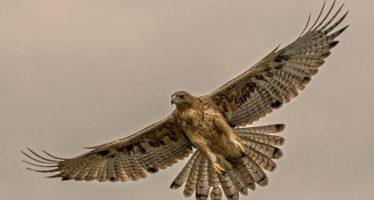Un proyecto Life tratará de recuperar al águila de Bonelli en España e Italia