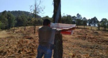 Clausuran plantación comercial por aprovechamiento ilegal de pino en Reserva de la Biosfera Mariposa Monarca