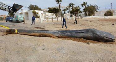 Una indigestión de 29 kilos de plástico mató a un cachalote