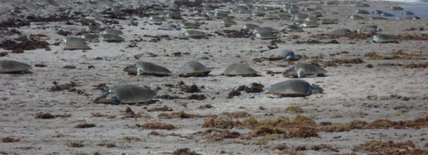 Arribazón de tortuga lora (Lepidochelys kempii) en Área Natural Protegida Santuario Playa de Rancho Nuevo, Tamaulipas