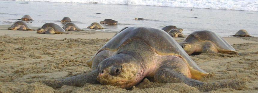 Para la conservación de la tortuga golfina (Lepidochelys olivácea) en Oaxaca, se destinan 30 ha de playa
