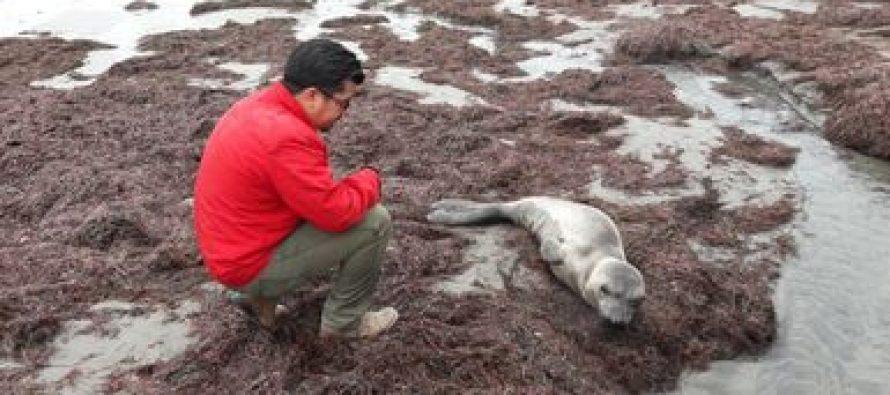 Atienden a un elefante marino (Mirounga angustirostris) vivo, varado en Ensenada
