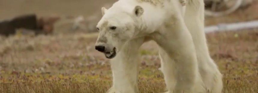 Oso polar sufre por el calentamiento global