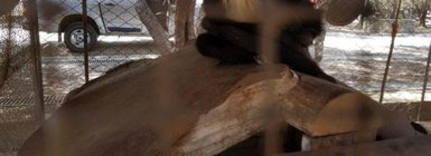 Aseguran un ejemplar de mono araña (Ateles geoffroyi) en Ensenada