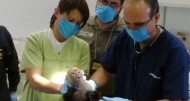 Capturan al famoso mono capuchino (Cebus capucinus) de Lomas de Chapultepec en CDMX