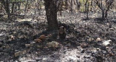 Rescatan cría de oso negro (Ursus americanus) en medio de un incendio forestal en Namiquipa, Chihuahua