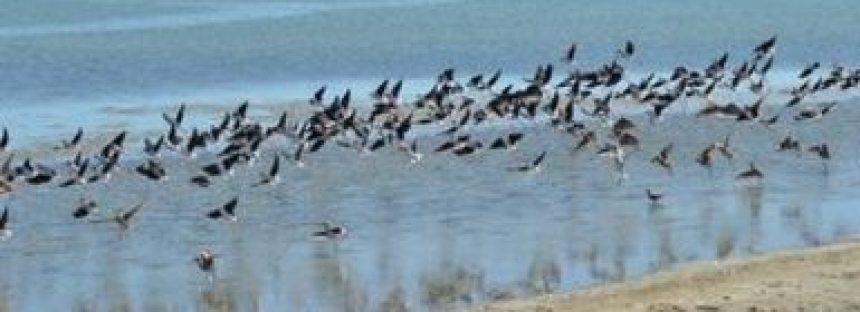 México aplica Plan de Manejo Tipo para protección de aves acuáticas y playeras