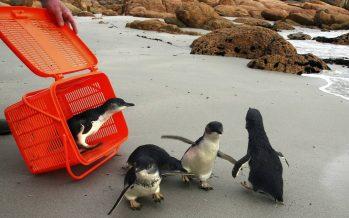 Pequeños pingüinos regresan al océano después de recibir tratamiento por lesiones
