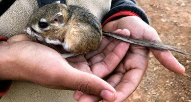 Rata canguro supuestamente extinta resurge después de 30 años