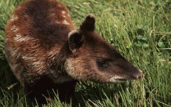 El resurgir del tapir andino, de especie olvidada a protagonista de una moneda