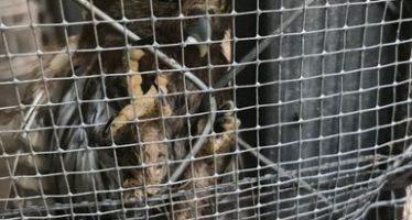 Rescatan la Policía Federal y la Universidad de Guerrero 5 ejemplares de fauna silvestre
