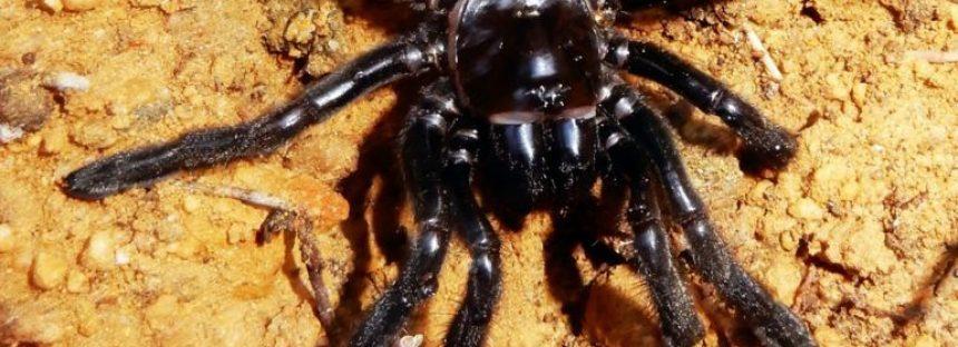 """La araña """"más vieja del mundo"""" muere a los 43 años"""