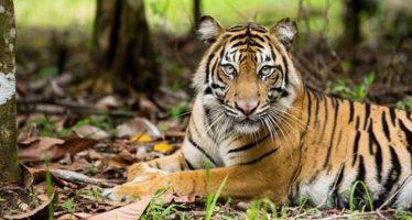 «Bonita», un tigre acechado por aldeanos de Indonesia tras matar a dos personas