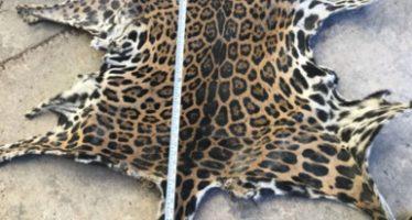 Aseguran una piel de jaguar (Panthera onca) a un particular en Tizimín, Yucatán en Reserva de la Biosfera Ría Lagartos