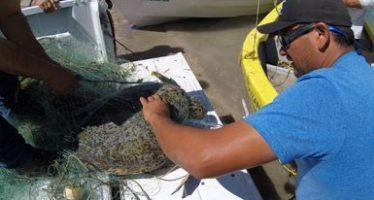 Rescatan y liberan una tortuga marina prieta (Chelonia agassizii) atrapada en una red de pesca en La Paz, BCS