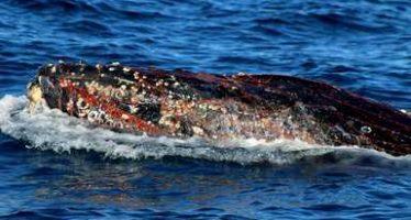 Liberan parcialmente un ejemplar de ballena gris (Eschrichtius robustus) atrapado en red de pesca; está marcado