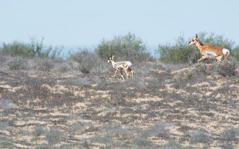 Nace berrenda (Antilocapra americana peninsularis) semi albina en el desierto de El Vizcaíno