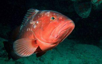 Abrió en abril temporada de pesca de diferentes especies de mero en el Caribe mexicano