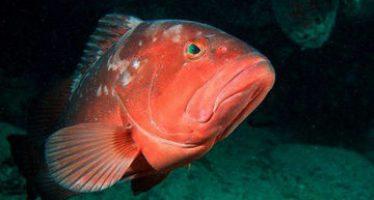 Inició el 1 de abril la temporada de pesca de mero en la parte sur del Golfo de México y el Mar Caribe