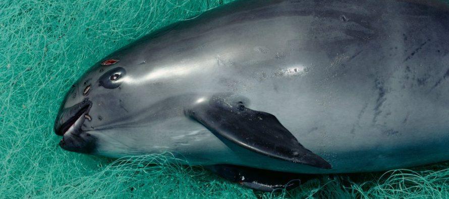 Amplía gobierno mexicano área de refugio de la vaquita marina (Phocoena sinus) en el Alto Golfo de California