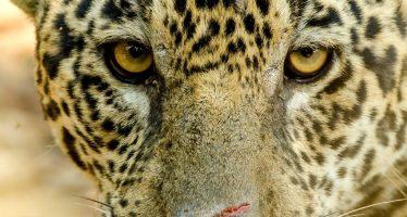 Un leopardo devora a un niño de tres años en un parque de Uganda