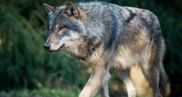 La única loba salvaje de Dinamarca en los últimos 200 años muere de un disparo (Video)