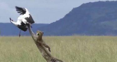 Un leopardo vuela para cazar una cigüeña