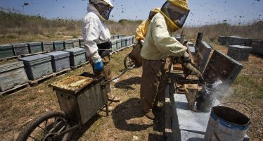 Traficantes de abejas