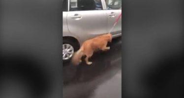 Un perro es atado a un coche en marcha bajo la lluvia por su dueño