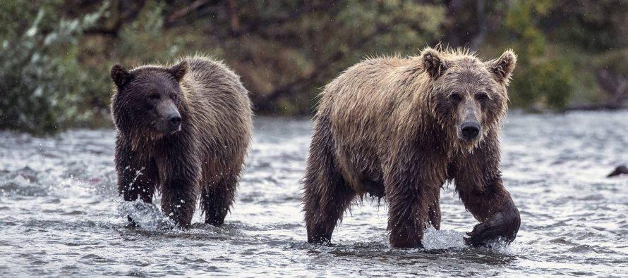 Trump propone autorizar el uso de rosquillas y beicon como cebo para cazar osos en Alaska