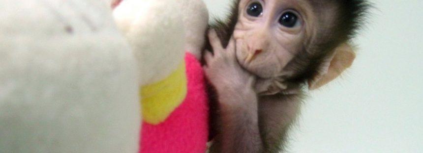 Sí, ya clonaron monos en China, pero eso no significa que lo harán con humanos