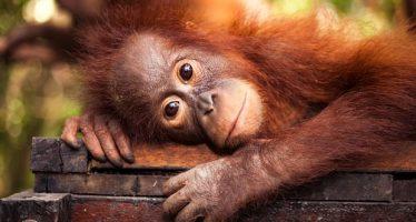 Los productores de aceite de palma están eliminando a los orangutanes, a pesar de las promesas de las multinacionales