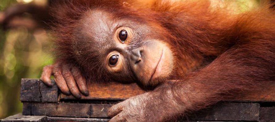 Los productores de aceite de palma están eliminando a los orangutanes, a pesar de las promesas de las multinacionales | México Ambiental