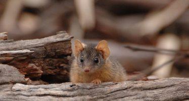 Demasiado sexo puede entorpecer la supervivencia de algunos marsupiales