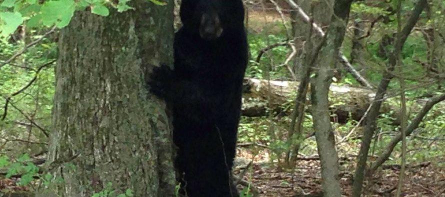 Un oso americano ataca a una niña en el patio de su casa