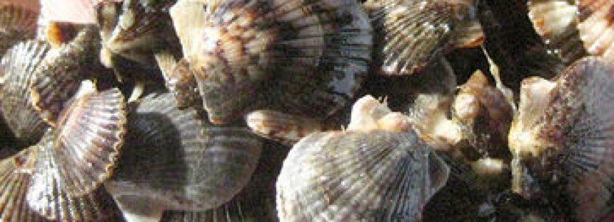 Concluye veda de cinco años y se reactiva la captura de almeja catarina (Agropecten circularis) en Baja California Sur