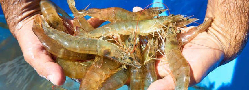 El cultivo de camarón, es un modelo de producción acuícola de gran calidad y ato valor comercial