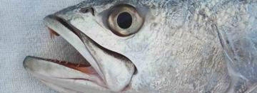 La curvina, es un pescado mexicano de alto valor nutricional