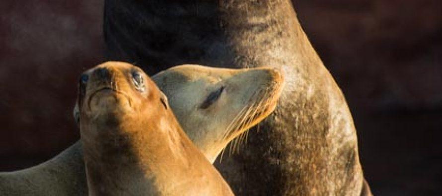 Está suspendido temporalmente nado y buceo con lobo marino (Zalophus californianus) en Archipiélago Espíritu Santo
