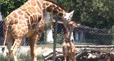 Nace Jirafita en Zoológico Benito Juárez