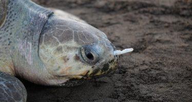 Tenedor de plástico retirado de la nariz de tortuga marina